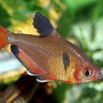 Серпас (Hyphessobrycon serpae)