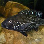 Ираноцихла (Iranocichla hormuzensis)