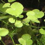 Щитолистник белоголовый (Hydrocotyle leucocephala)