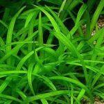 Стрелолист карликовый (Sagittaria spec.)