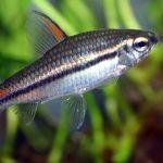 Наннэтиопс однополосый (Nannaethiops unitaeniatus)