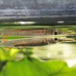 Рыбка Дермогенис карликовый или Полурыл (Dermogenys pusillus)