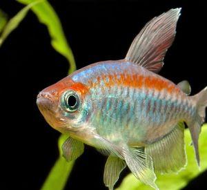 Рыбка Конго или Тетра Конго (Phenacogrammus interruptus)