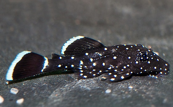 Анциструс звездчатый - Ancistrus leucostictus