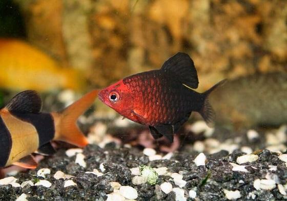 Барбус черный - Barbus nigrofasciatus
