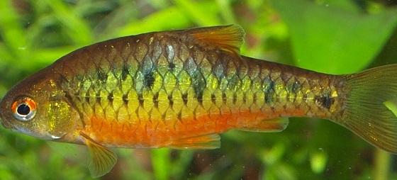 Барбус зеленый в акваруме