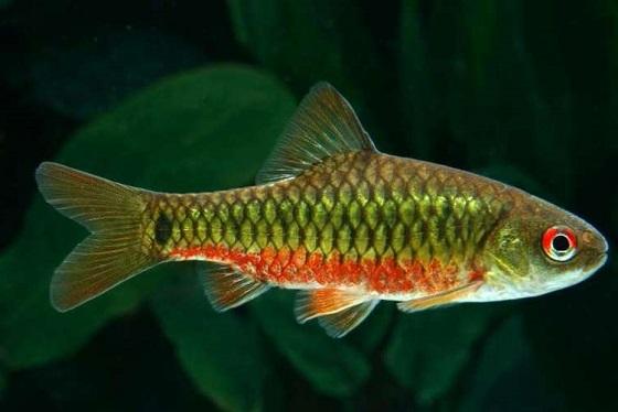 Барбус зеленый - Barbus semifasciolatus