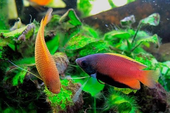 Colisa chuna в аквариуме