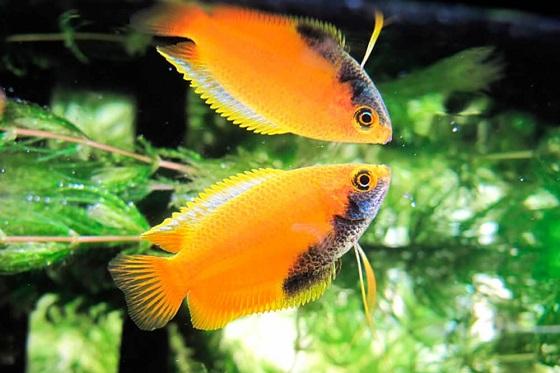 Рыбка Colisa chuna
