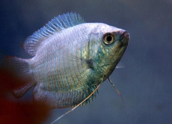 Рыбка Лялиус Colisa lalia