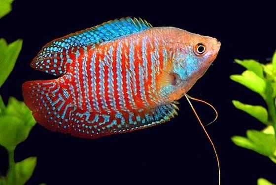 Рыбка Лялиус