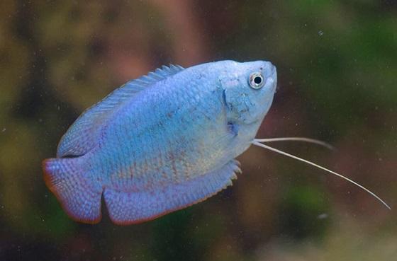 Рыбка Colisa lalia
