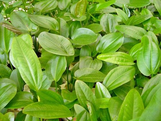 Echinodorus cordifolius в природе
