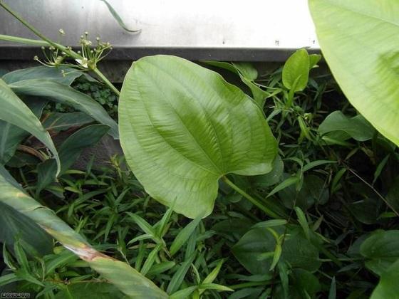 Echinodorus cordifolius - надводная форма