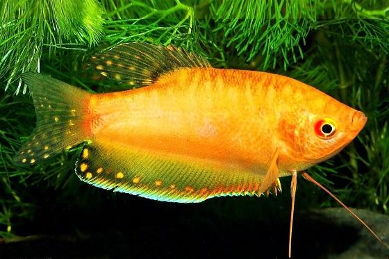Рыбка Trichogaster gold