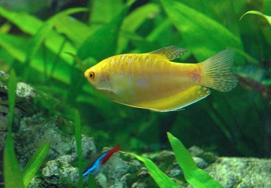 Золотой Гурами - Trichogaster gold