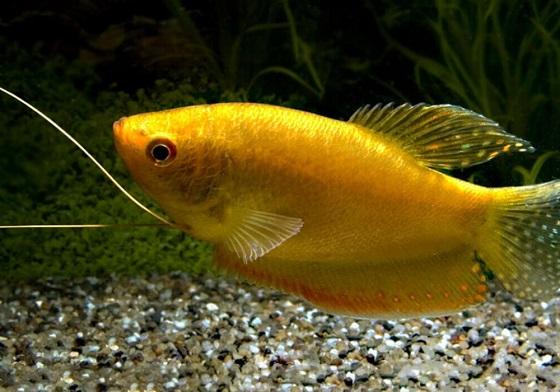 Рыбка Золотой Гурами