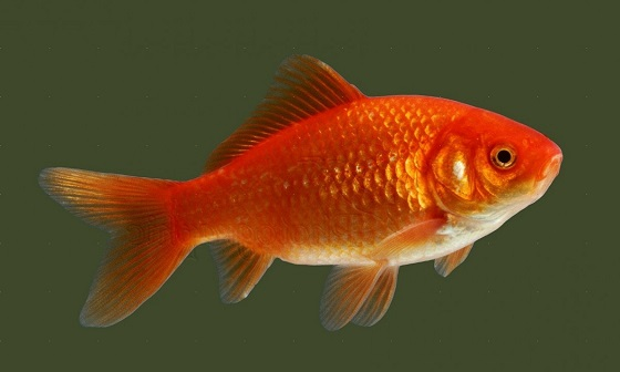 Аквариумная Золотая рыбка - Carassius auratus