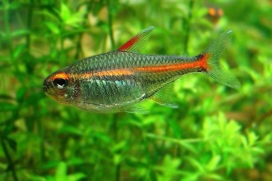 Рыбка Эритрозонус — Тетра светлячок