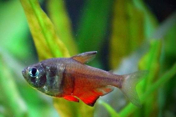 Рыбка Тетра фон рио