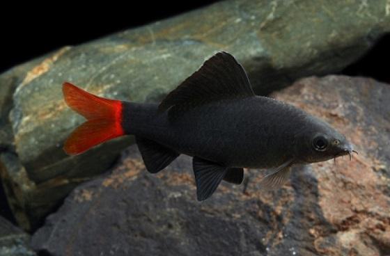 Рыбка Labeo bicolor