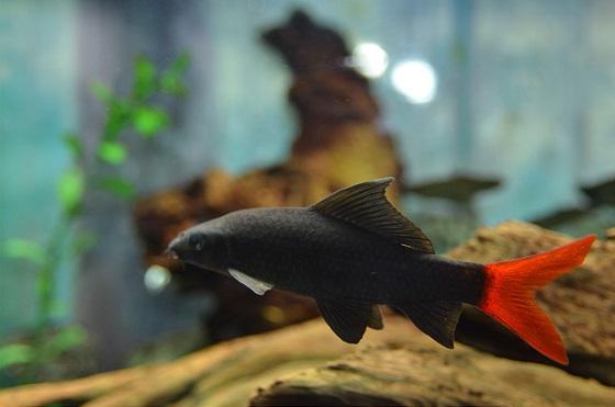 Лабео двухцветный в аквариуме