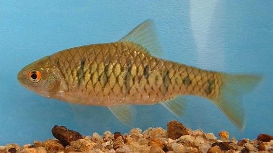 Barbus semifasciolatus в аквариуме