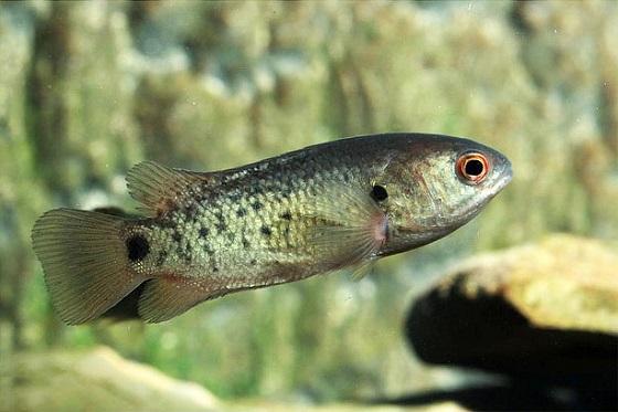 Рыбка Анабас