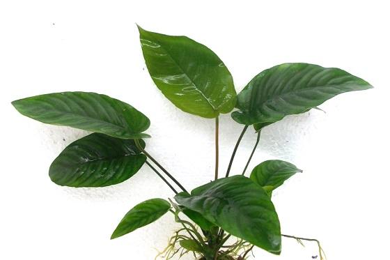Растение Анубиас Бартера