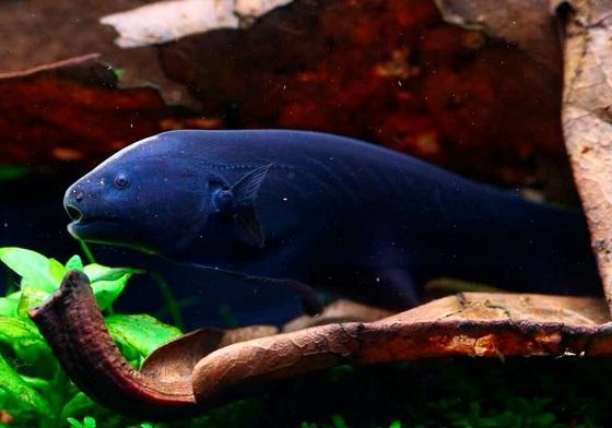 Рыба Черный нож