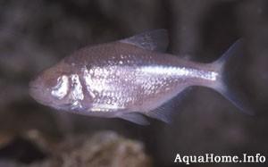 astyanax-mexicanus
