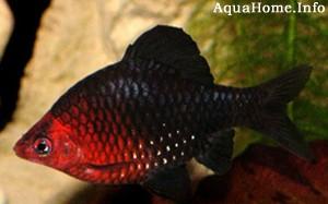 barbus-nigrofasciatus