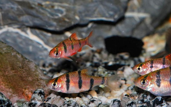Barbus pentazona в аквариуме