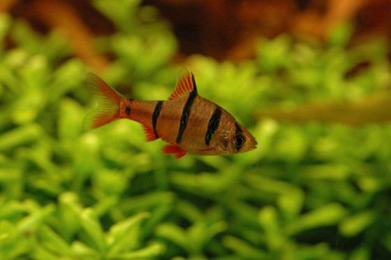 Барбус пятиполосый в аквариуме
