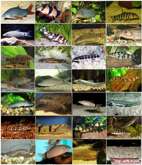 Рыбы семейства Вьюновые