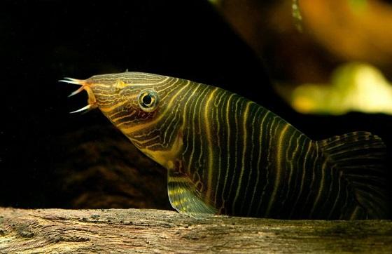 Рыбы семейства Cobitidae