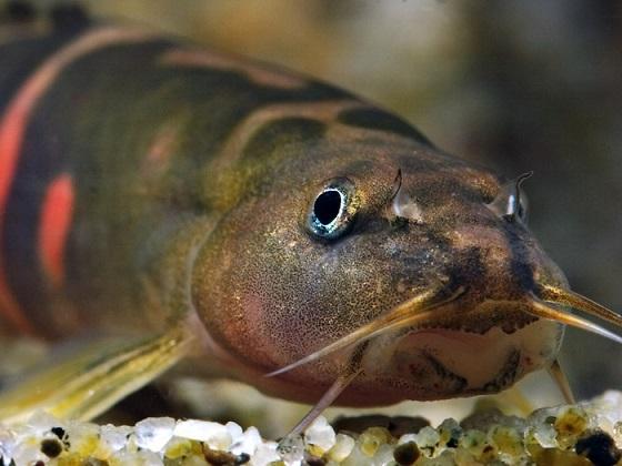 Вьюновые (Cobitidae)