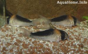 corydoras-duplicareus