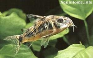 corydoras-paleatus