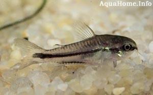 corydoras-pygmaeus