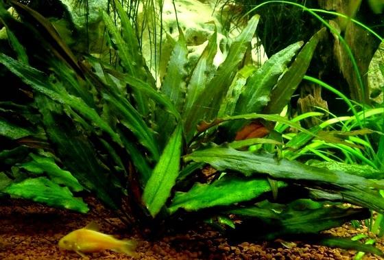 Растение Cryptocoryne petchii