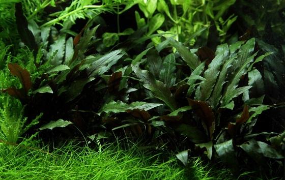 Растение Криптокорина Петча