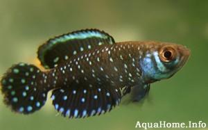 cynolebias-nigripinnis