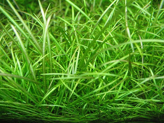 Эхинодорус нежный или Эхинодорус травянистый