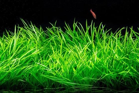 Растение Эхинодорус травянистый