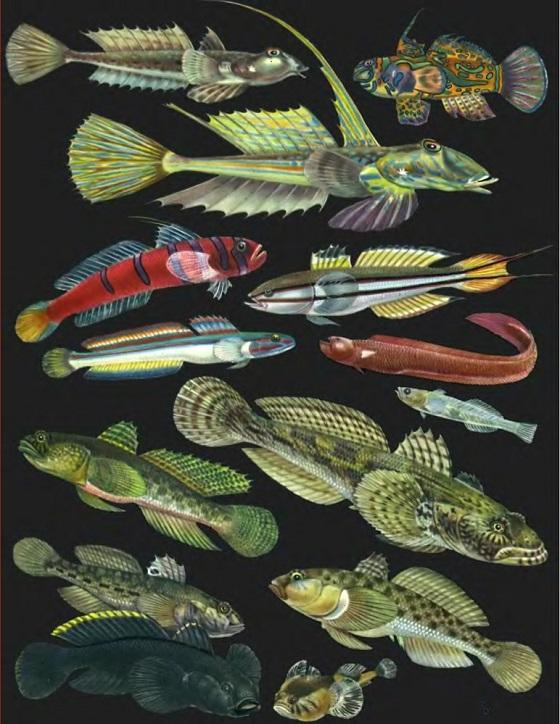 Gobiidae - Семейство Бычковые