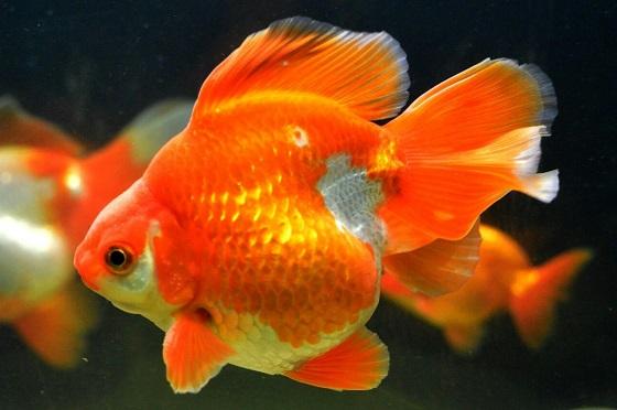Золотая рыбка - Carassius auratus