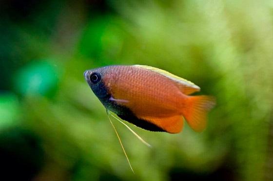 Рыбка Гурами Медовый
