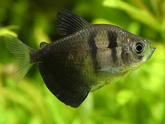 Аквариумная рыбка Тернеция
