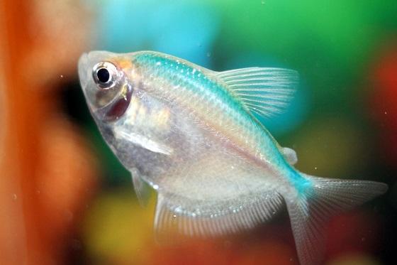 Рыбка Тернеция Альбинос